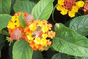 Lantana Bee