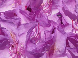 Lavendar Flowers Close Up