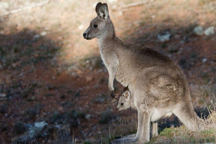 Kangaroo and Joey, Canberra, Austral - StevenRalserPhoto