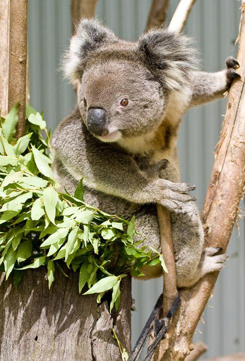 Koala - StevenRalserPhoto