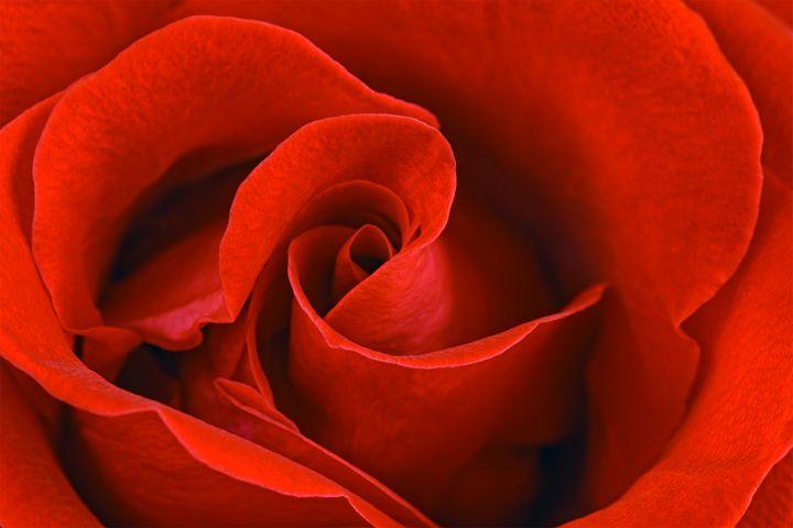 Red rose - DLidiya