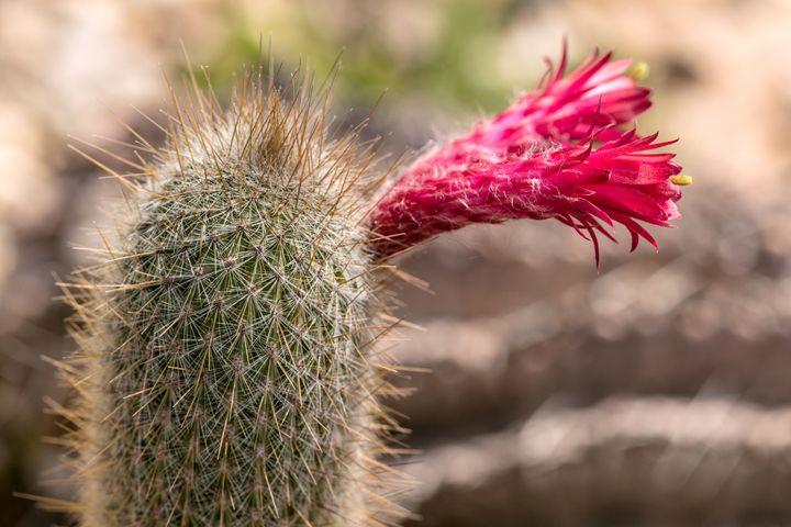 Cactus blooms - DLidiya
