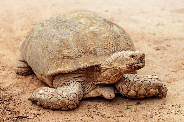 turtle - DLidiya