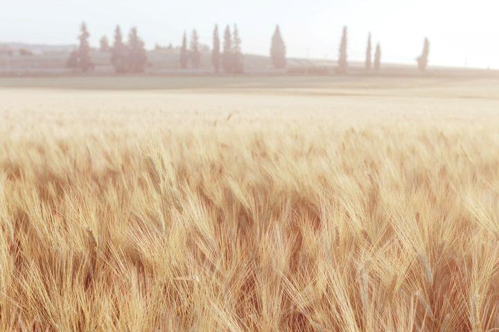 Wheat in the field - DLidiya