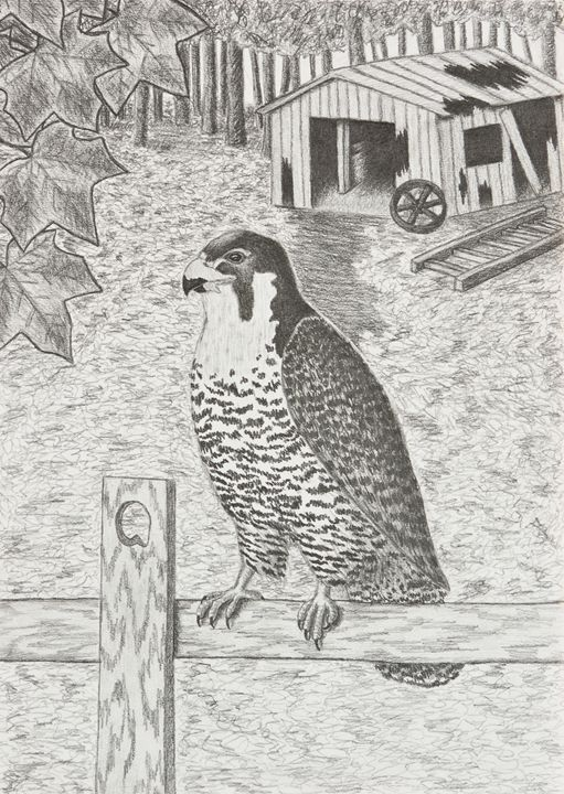 Peregrine Falcon On Fence - JK Art Life