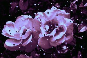 Polkadot Roses