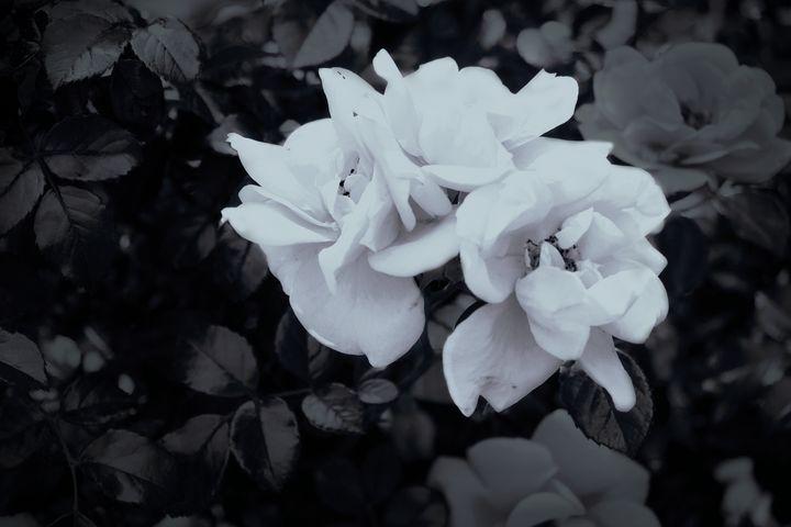 Roses - Oizys Daimona