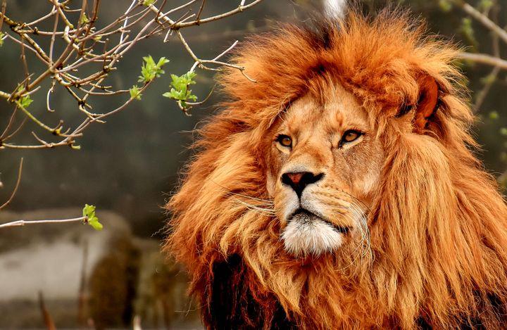 Lion Head - Amazing Photography