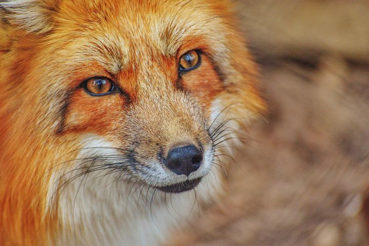 Fox Head - Amazing Photography