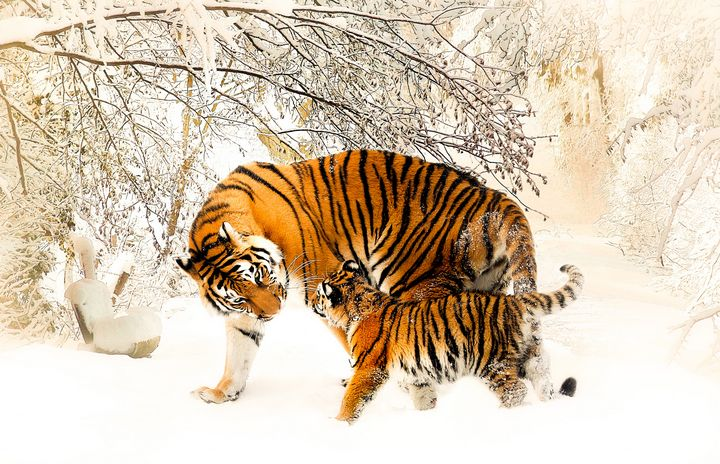 Tigers in Snow - Amazing Photography