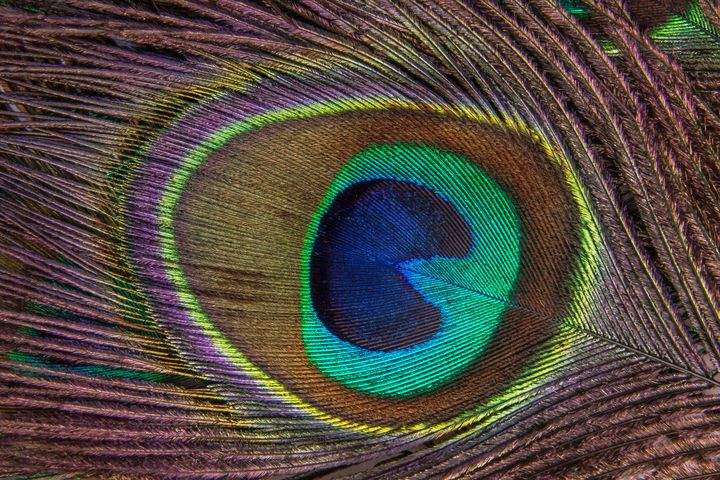 Peacock Feather Close Up - Amazing Photography