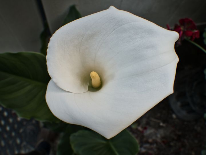 Easter Lily, Close Up - Amazing Photography