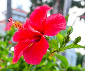 Hibiscus No.2