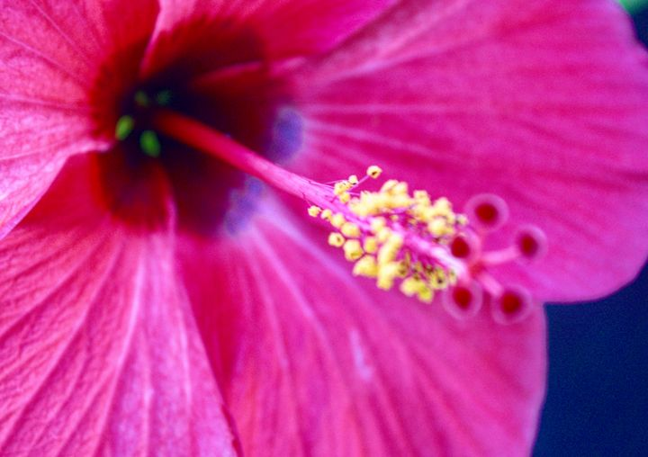 Hibiscus no. 1 - Luther Wright Studios