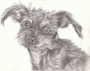 The Very Awake Schnauzer - Marcia Charity for Animals