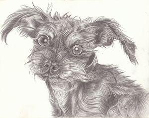The Very Awake Schnauzer - Marcia Charity for Animals