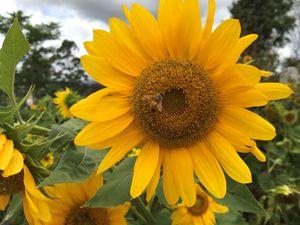 sun flower Bee