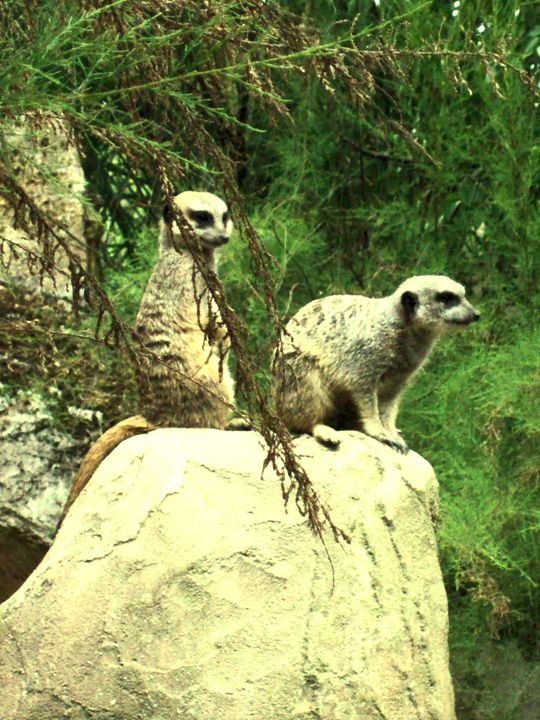 Meercats - William Gardiner