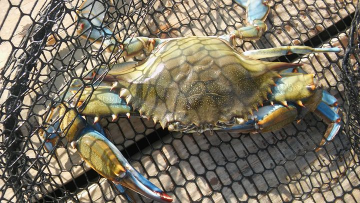Texas Coast Blue Crab in a Net - Brandon W. Ross