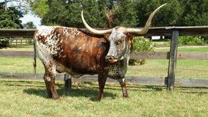 Texas longhorn striking a pose