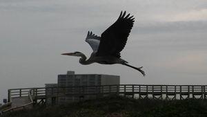 Bird in Flight, Texas Coast