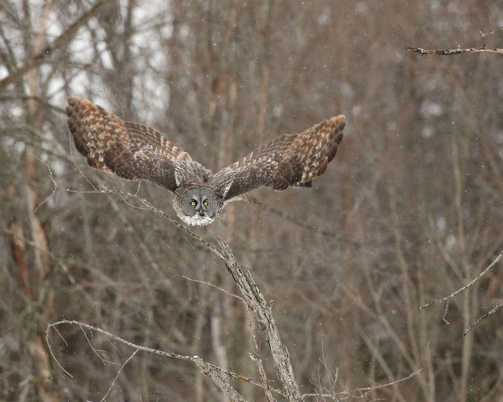 Wings of Wisdom - Thee Owl Queen