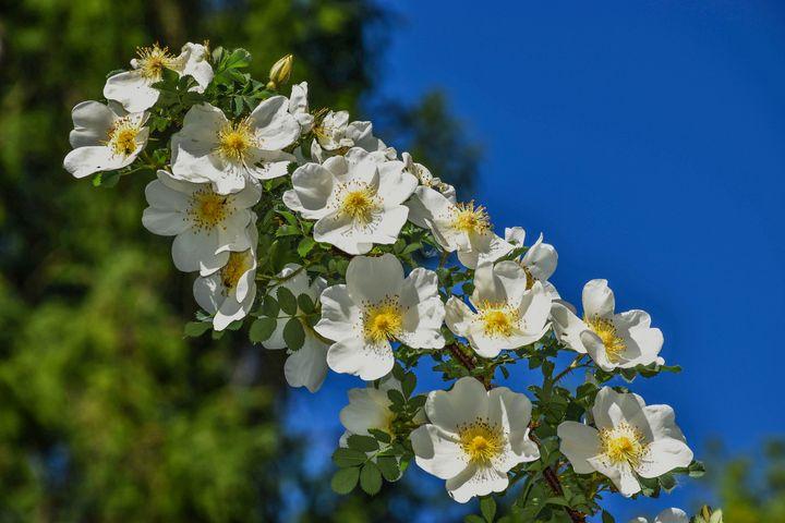 Flowers White Roses - Eva Design