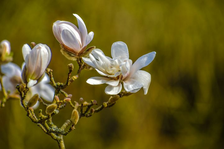 Spring Flowers Magnolia - Eva Design