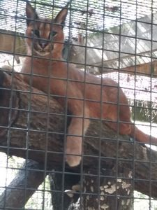 Caged Caracal Cat