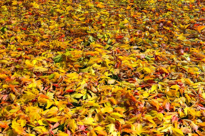 Autumn leaves in Provo, Uath - Aspen Ridge Gallery