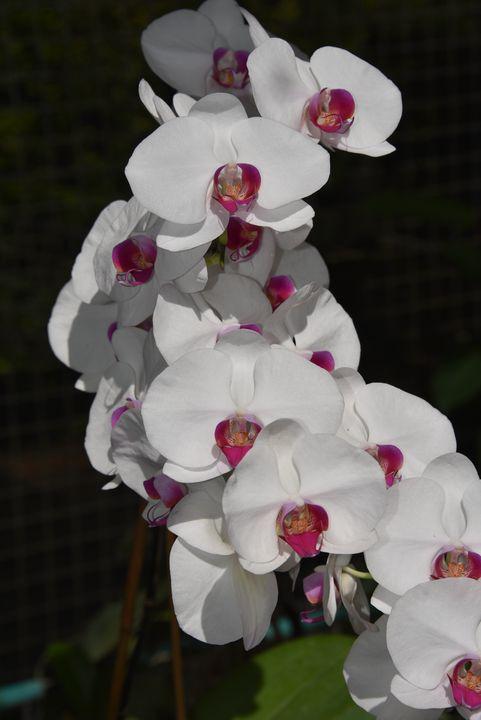 Orchid White-Pink 2 - Aspen Ridge Gallery