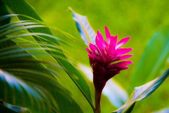 Ginger Plant - Aspen Ridge Gallery