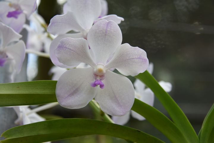 White Orchids - Aspen Ridge Gallery