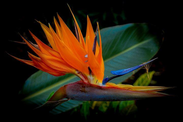 Bird of Paradise - Aspen Ridge Gallery