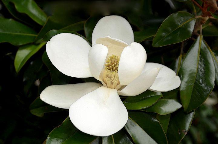 Magnolia - Aspen Ridge Gallery