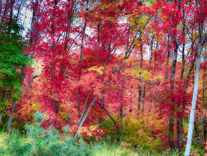 Red Maples in Autumn at Sundance, Ut - Aspen Ridge Gallery