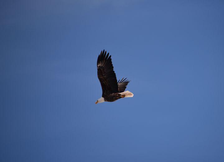 Eagle in Flight - Aspen Ridge Gallery