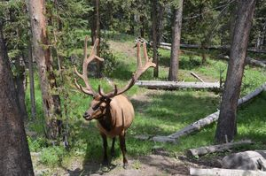 Colorado Bull Elk
