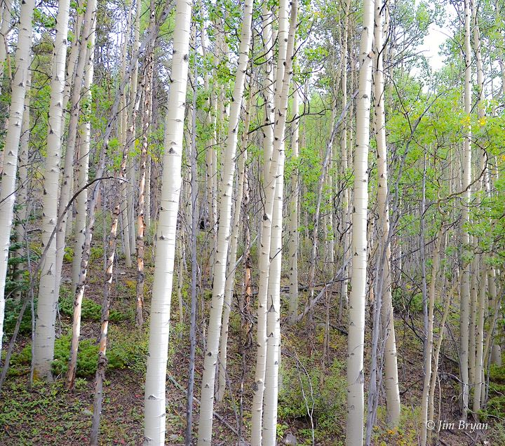 Colorado Aspens - Aspen Ridge Gallery