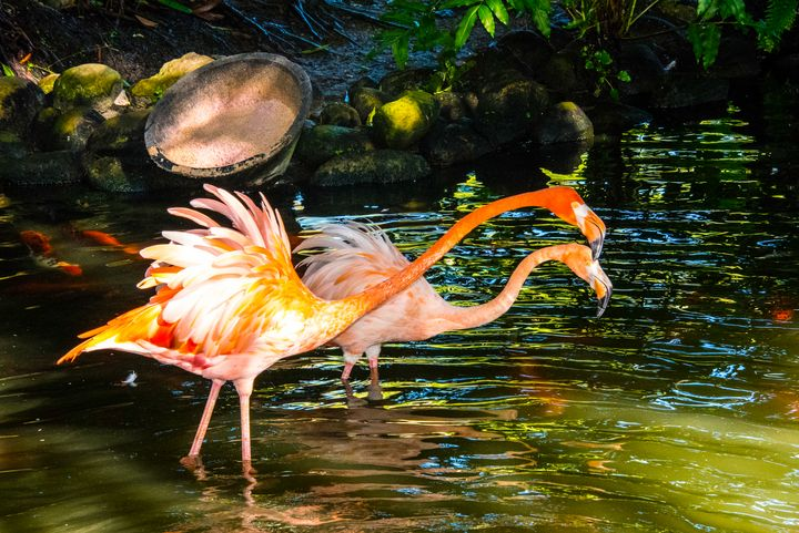 Flamingo dance - Aspen Ridge Gallery