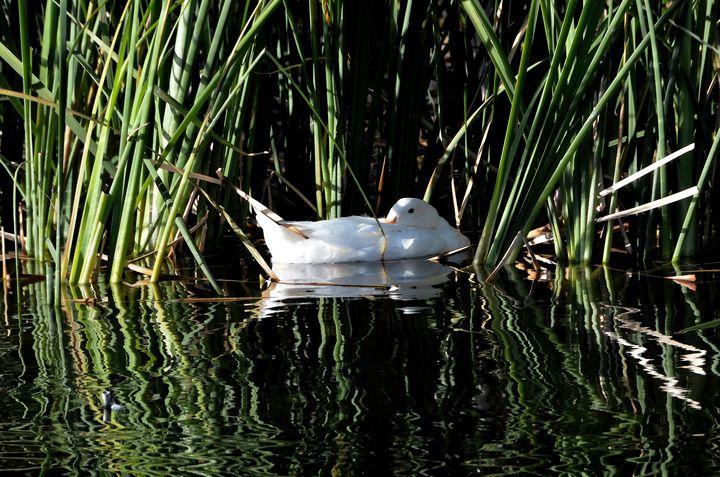 White Duck in the Marsh - Aspen Ridge Gallery