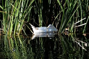 White Duck in the Marsh