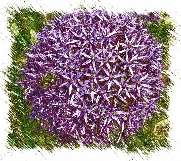 Allium Flower - Aspen Ridge Gallery