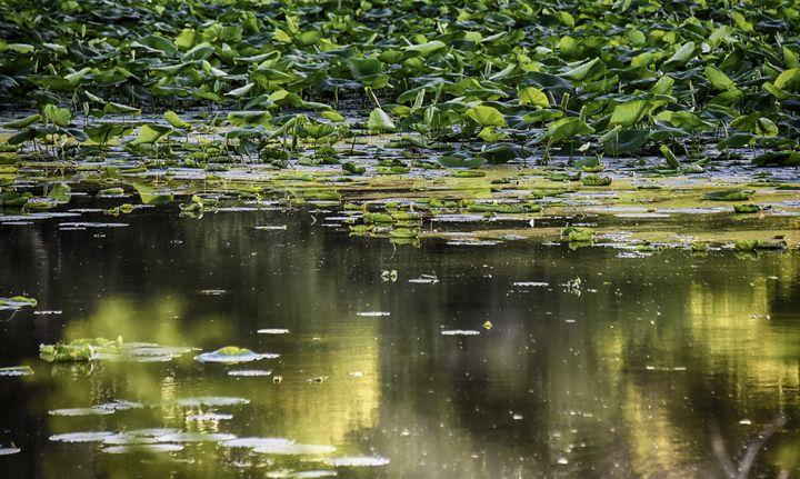 Lily pads at Nauvoo, Illinois - Aspen Ridge Gallery