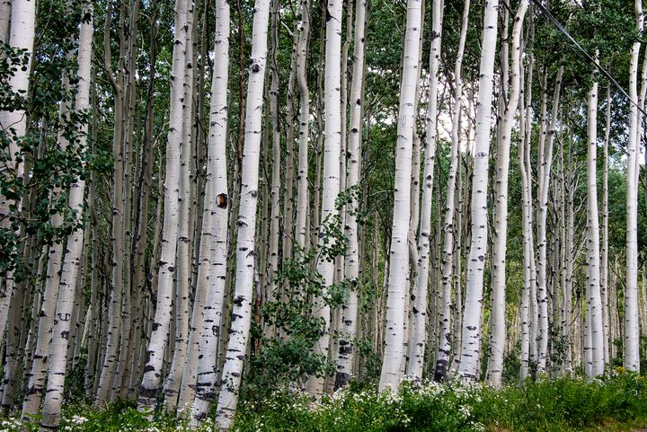 Midway Aspens in Utah - Aspen Ridge Gallery