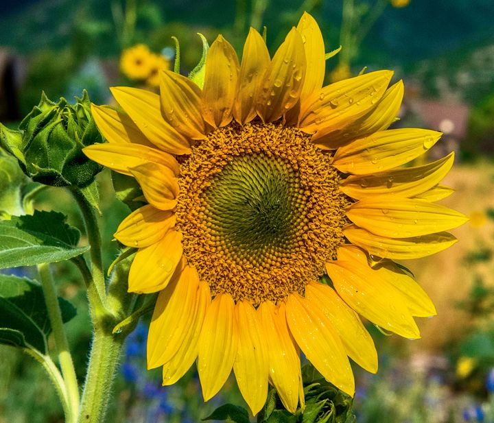 Summer time Sun Flowers - Aspen Ridge Gallery