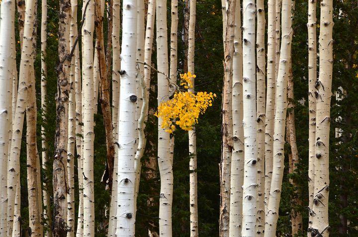A branch of gold - Aspen Ridge Gallery