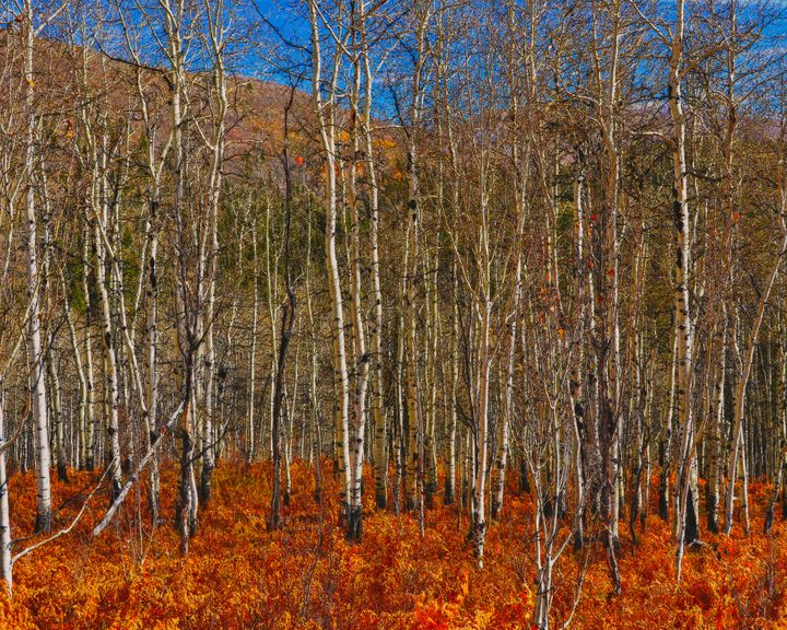 Quakies and ferns in Autumn - Aspen Ridge Gallery