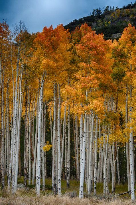 Aspens at Fish Lake, Utah - Aspen Ridge Gallery