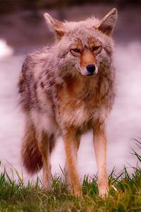 Artic Fox, Alaska